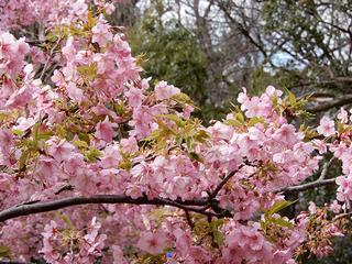 22かわず桜.jpg