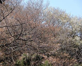 桜見分け.jpg